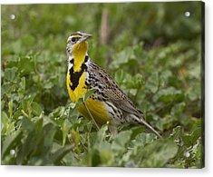 Western Meadowlark Acrylic Print by Doug Herr