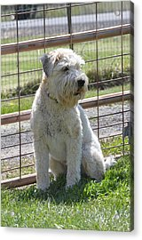 Wheaten Terrier  Acrylic Print by Linda Larson