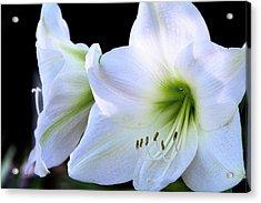 Acrylic Print featuring the photograph White Amaryllis  by Saija Lehtonen