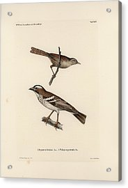 White-browed Sparrow-weaver And Grass Or Bush Warbler Acrylic Print