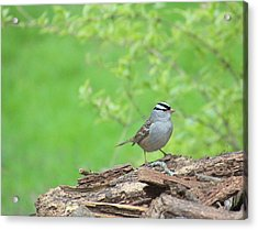 White Crowned Sparrow Acrylic Print by Rosanne Jordan