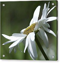 White Daisy Acrylic Print by Svetlana Sewell