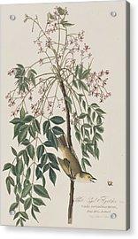 White-eyed Flycatcher Acrylic Print