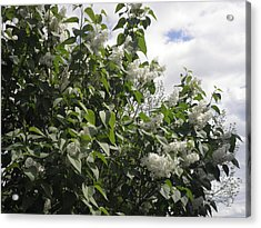 White Lilacs Acrylic Print by Kate Gallagher