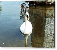 White North American Mute Swan Acrylic Print by Alex Roussinov