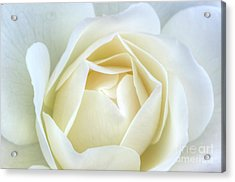 White Rose Inocence Purity Secrecy Acrylic Print