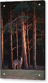 White-tail Deer Acrylic Print by Raju Alagawadi