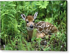 Acrylic Print featuring the photograph White-tailed Deer Odocoileus by Konrad Wothe