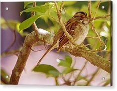 White Throated Sparrow Acrylic Print by Barry Jones