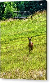 Acrylic Print featuring the photograph Whitetail Deer And Hay Rake by Thomas R Fletcher