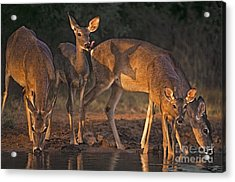 Acrylic Print featuring the photograph Whitetail Deer At Waterhole Texas by Dave Welling