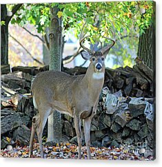 Whitetail Deer Acrylic Print by Steve Gass