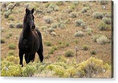 Wild Black Mustang Stallion Acrylic Print