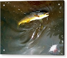 Wild Brown Trout Acrylic Print by Mike Shepley DA Edin