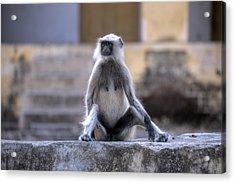 wild monkey in Rajasthan - India Acrylic Print by Joana Kruse