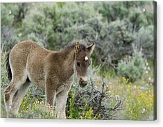 Wild Mustang Foal Acrylic Print