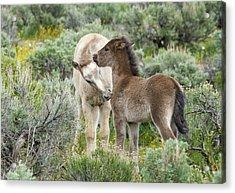 Wild Mustang Foals Acrylic Print