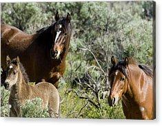 Wild Mustang Herd Acrylic Print