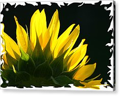 Acrylic Print featuring the photograph Wild Sunflower by Shari Jardina