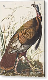Wild Turkey Acrylic Print by John James Audubon