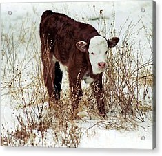 Acrylic Print featuring the photograph Winter Calf by Juls Adams