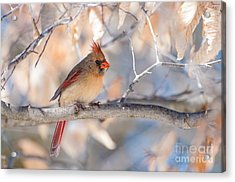 Winter Cardinal Acrylic Print by Debbie Green