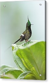 Wire-crested Thorntail In Ecuador Acrylic Print by Juan Carlos Vindas