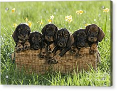 Wire-haired Dachshund Puppies Acrylic Print