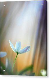 Wood Anemone Abstract Acrylic Print by Dirk Ercken