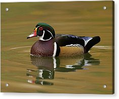 Wood Duck Acrylic Print by Doug Herr