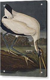 Wood Ibis Acrylic Print