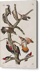 Woodpeckers Acrylic Print by John James Audubon