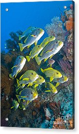 Yellow And Blue Striped Sweeltip Fish Acrylic Print