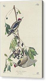 Yellow-bellied Woodpecker Acrylic Print by John James Audubon