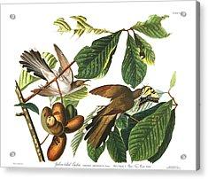 Yellow Billed Cuckoo Acrylic Print