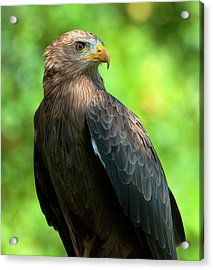 Yellow-billed Kite Acrylic Print