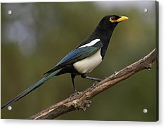 Yellow-billed Magpie Acrylic Print