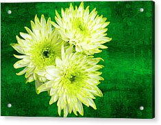 Yellow Chrysanthemums On A Green Background. Acrylic Print by Paul Cullen