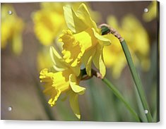 Yellow Acrylic Print by Mark Severn