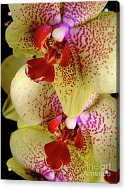 Acrylic Print featuring the photograph Yellow Orchid by Dariusz Gudowicz