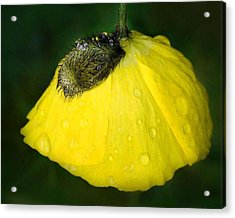Acrylic Print featuring the photograph Yellow Poppy by Marilynne Bull