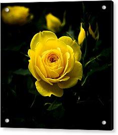Yellow Rose Acrylic Print by John Ater