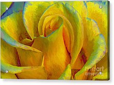 Yellow Rose Acrylic Print by John  Kolenberg