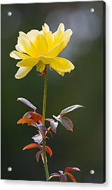 Acrylic Print featuring the photograph Yellow Rose by Willard Killough III