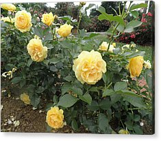 Yellow Roses Acrylic Print by Kate Gallagher