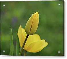 Acrylic Print featuring the photograph Yellow Tulips by Sandy Keeton