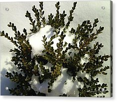 Young Boxwood In Winter Acrylic Print