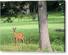 Young Buck Acrylic Print by Carolyn Postelwait