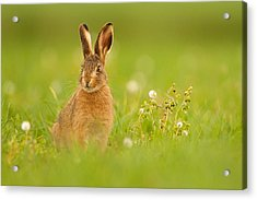 Young Hare In Meadow Acrylic Print