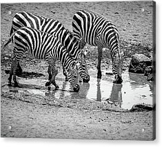 Acrylic Print featuring the photograph Zebras At The Watering Hole by Marion McCristall